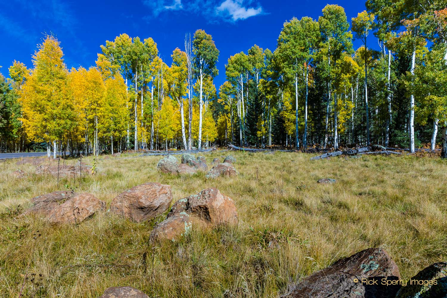 The Northern Arizona Aspens Are Changing At Snowbowl!