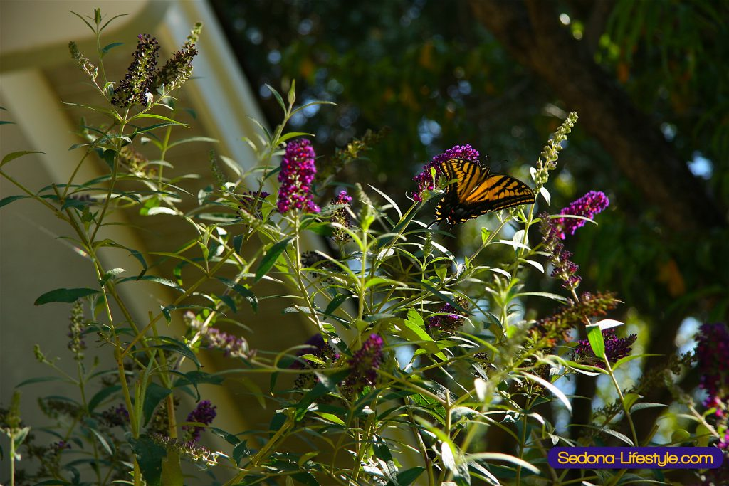 Sedona Butterfly Bush