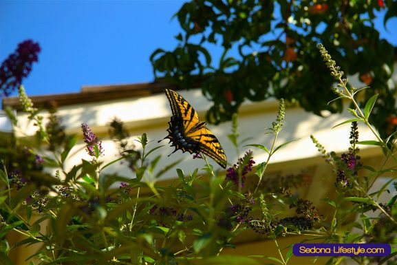 Why They Call It A Butterfly Bush…