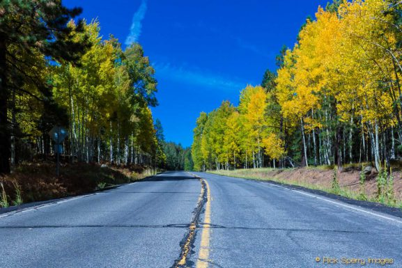 Aspens – October Beauty – Fall Color At Snowbowl