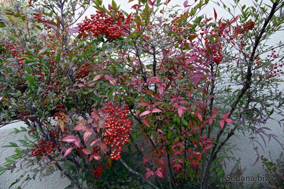 Want Fall and Winter Color In Your Garden? – Check this Nandina out!