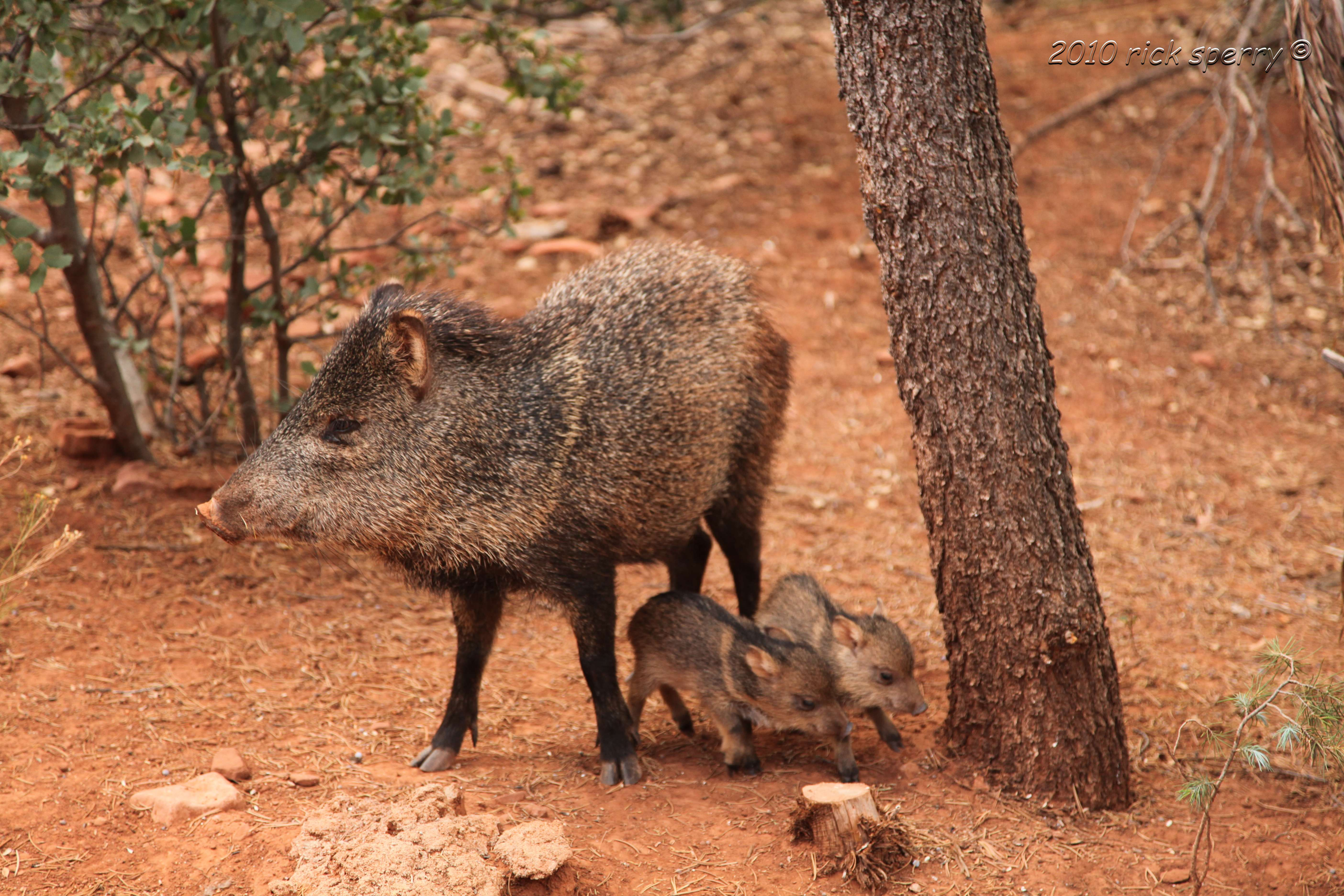 See A Fascinating Critter of the Southwest! Video