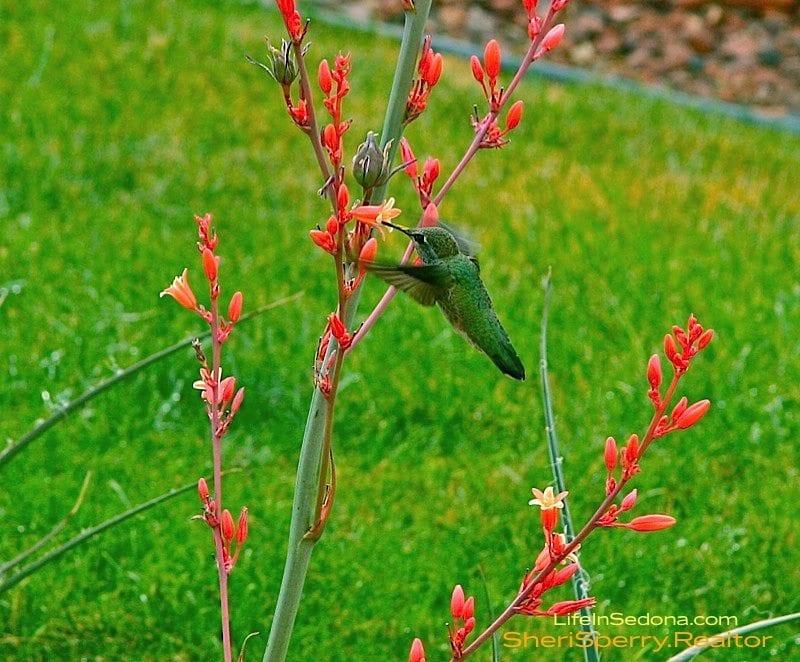 Hummingbirds in Sedona