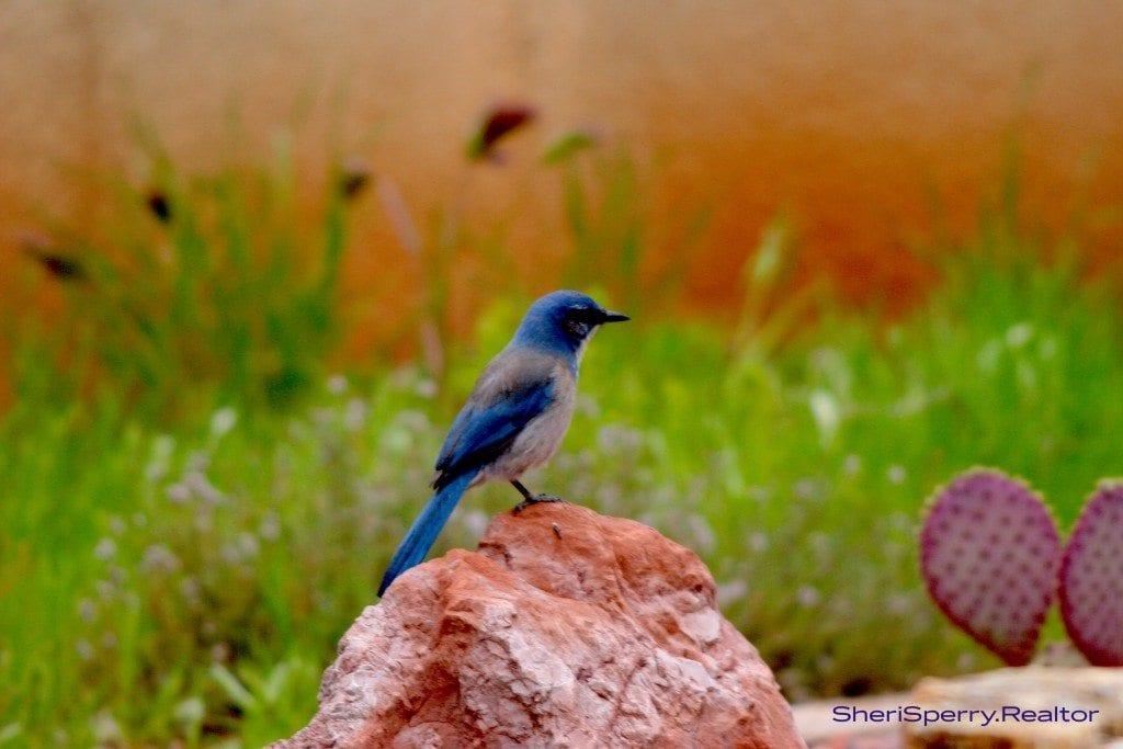 Blue Jay in Sedona