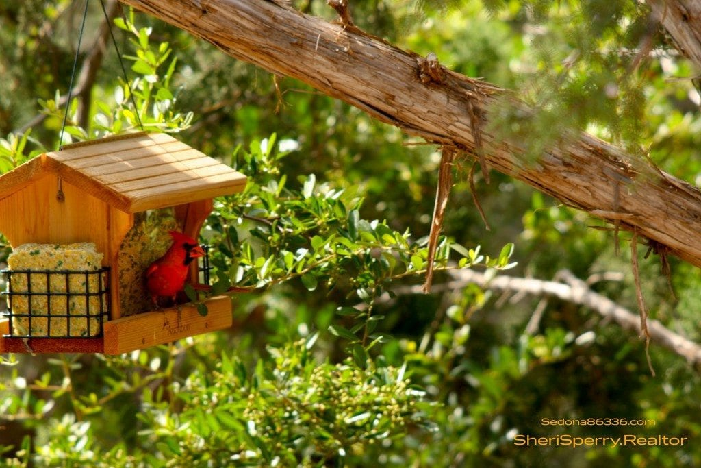 Arizona Cardinal in Sedona