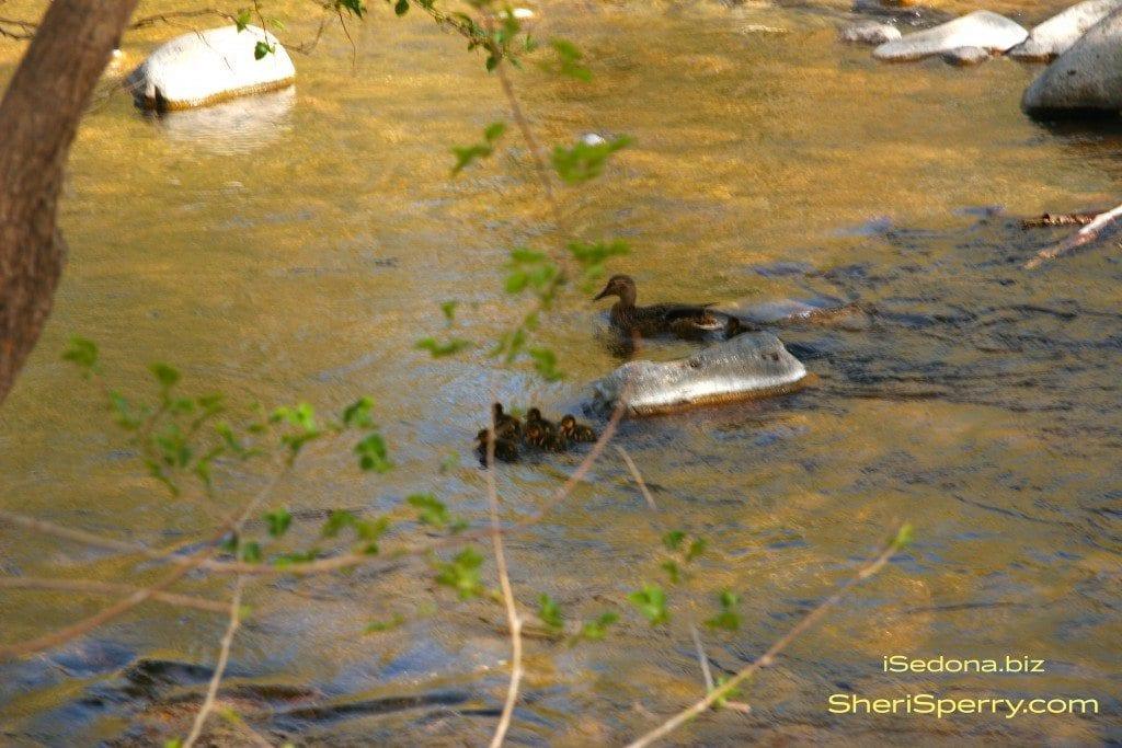 ducks on Oak Creek