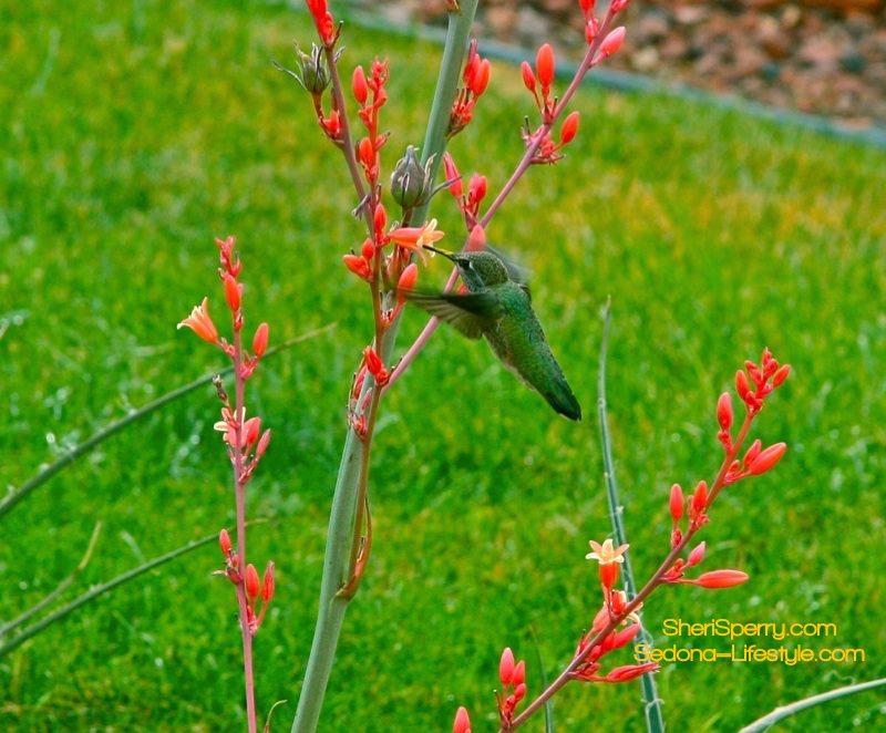 Sedona Hummingbird Festival Held on July 28th – July 30th