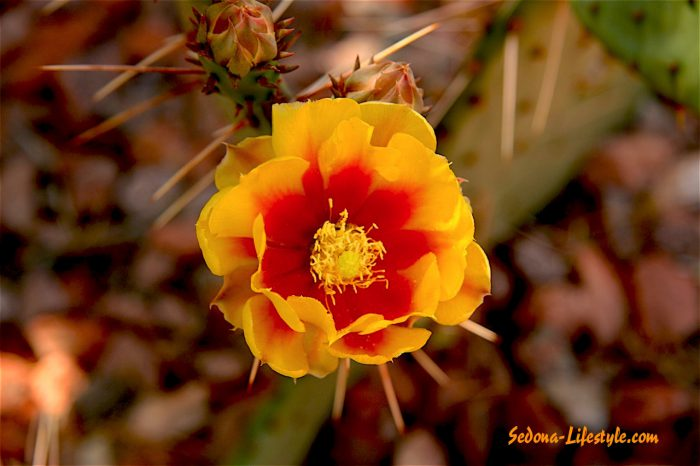 Cactus Flower - Cottages At Coffeepot Soldiers Pass Sedona Sheri Sperry REALTOR Coldwell Banker Realty