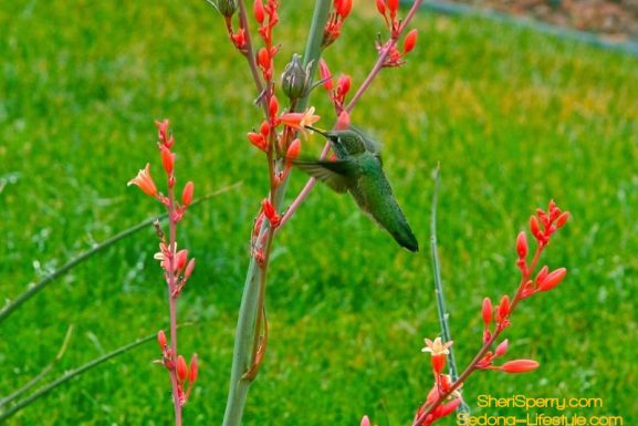 Sedona Hummingbird Festival Held on July 28th – July 30th